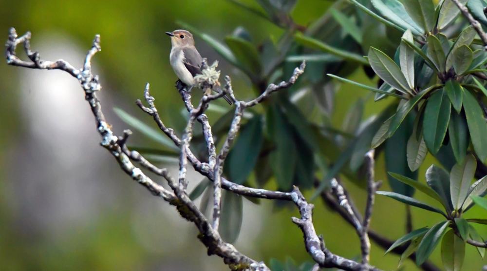ultramarine flycatcher female, pangot sattal birding, pangot sattal birding, pangot sattal blog, uttarakhand tourism, uttakhand birding
