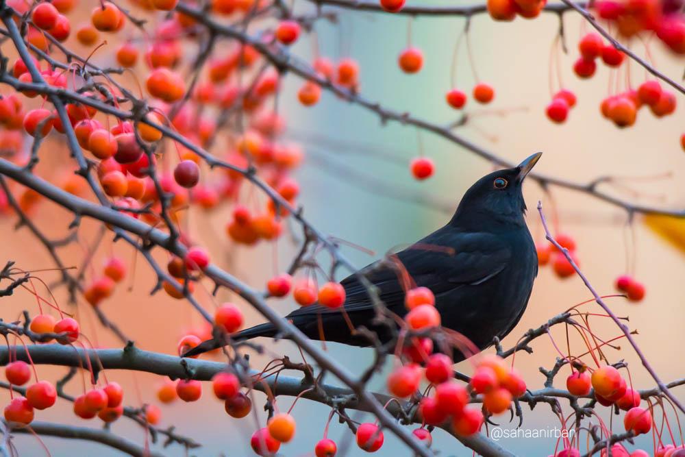 common black bird, birds in germany, germany birding