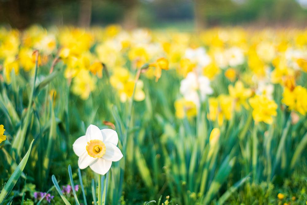magdeburg, daffodil