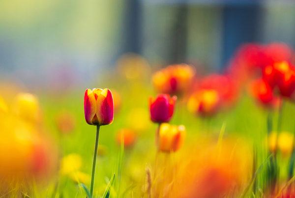 tulips, magdeburg