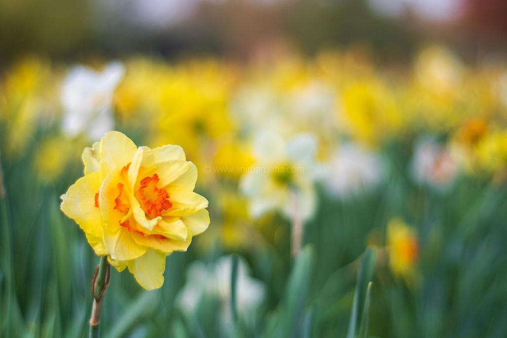 daffodils, magdeburg