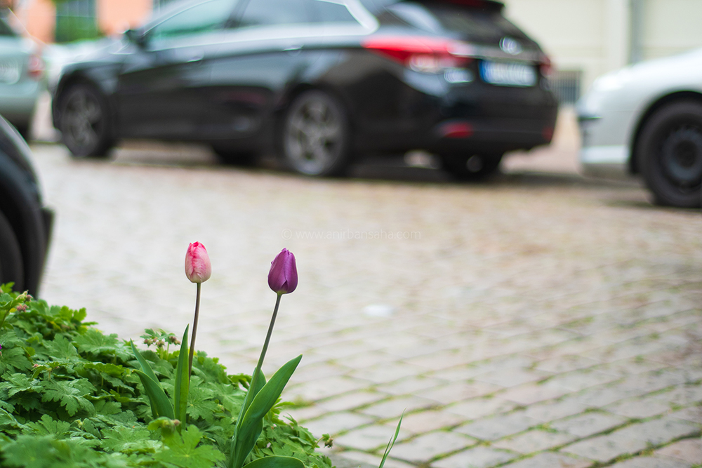 tulip, otto von guericke universitat