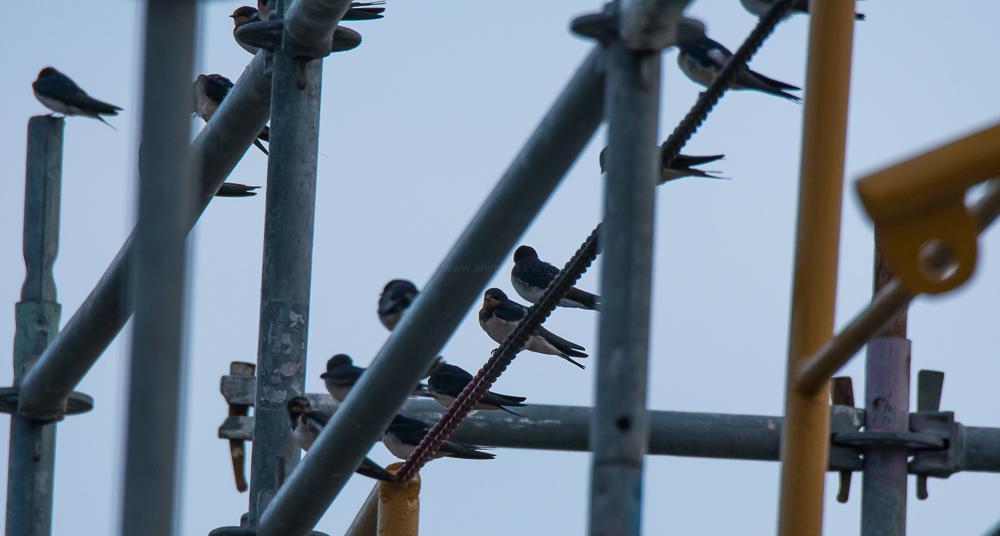 barn swallows, magdeburg