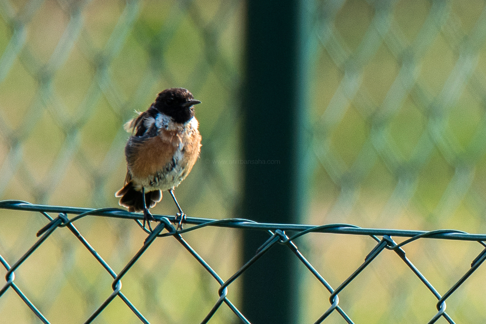 european stonechat, germany