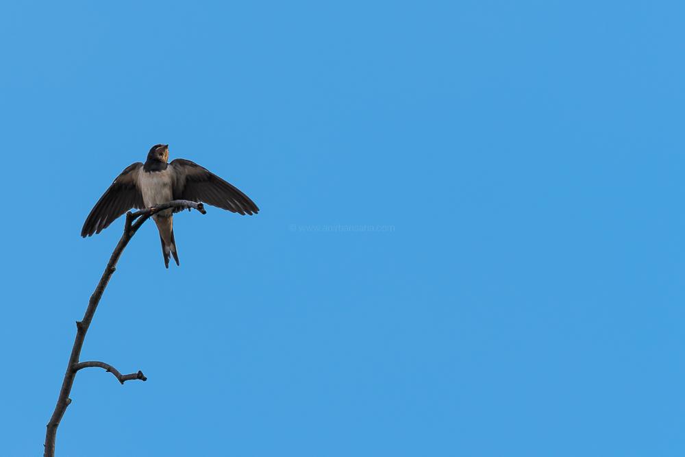 barn swallow, germany