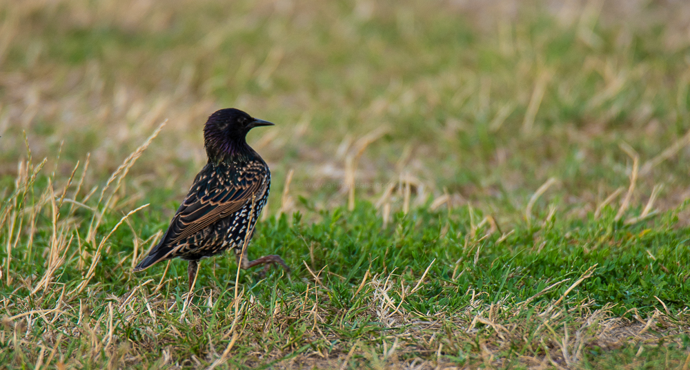 spotted common starling, germany, magdeburg