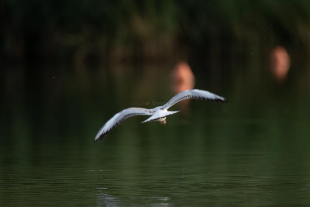 gull, germany