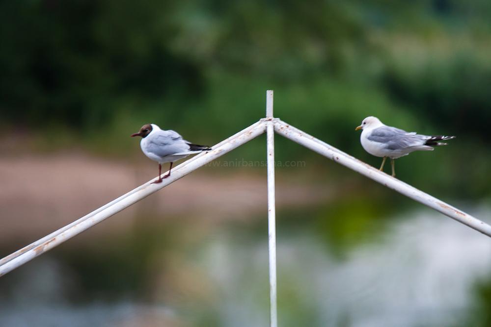 black headed gull, common gull, Herring gull