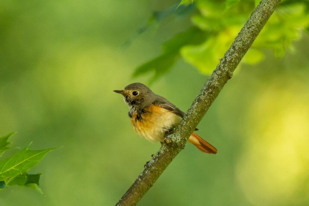 Common Redstart female