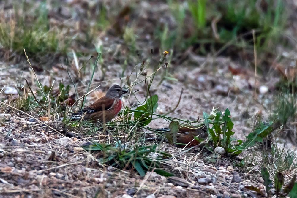Eurasian Linnet Male