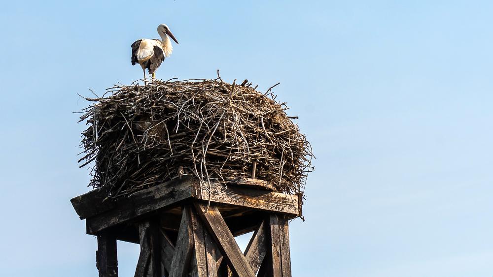 stork in Loburg