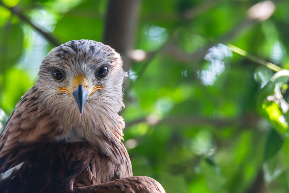 Storchenhof, Loburg, Stork conservation center in Germany, red kite