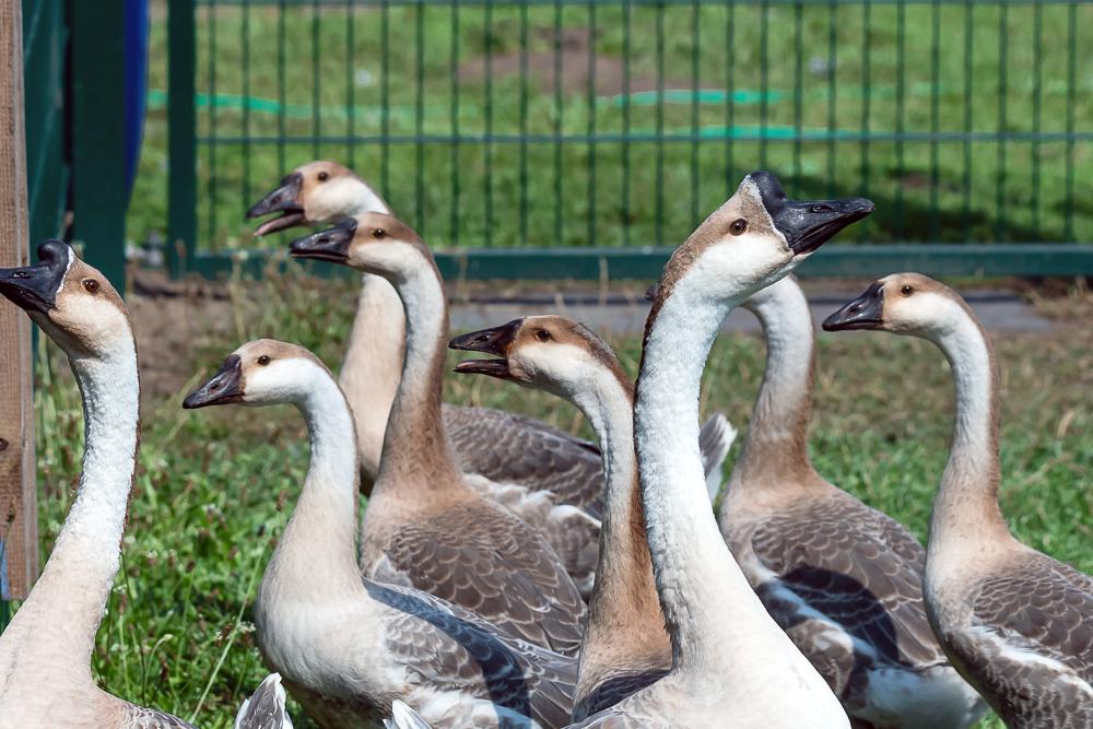 Storchenhof, Loburg, Stork conservation center in Germany, Swangoose