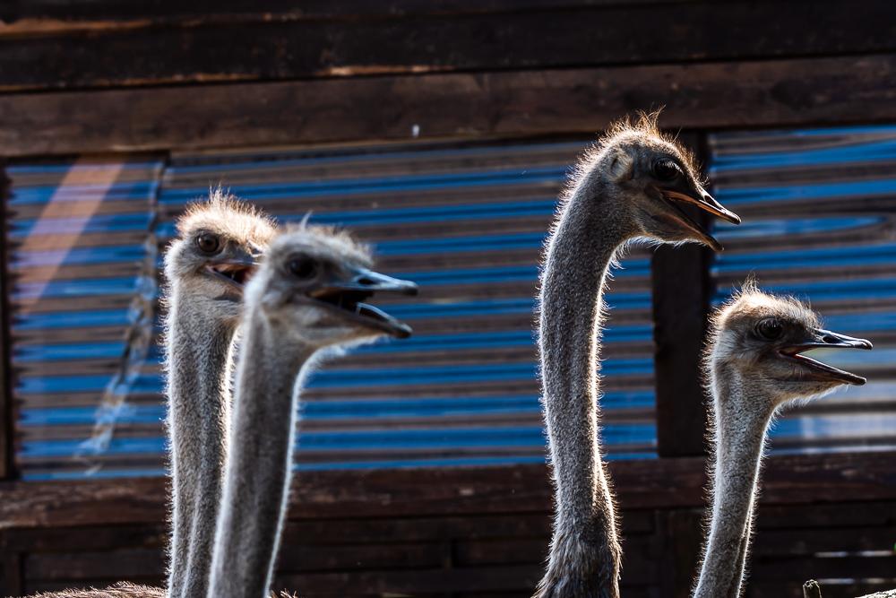 Straussenland, Nedlitz, Ostrich farm in Germany
